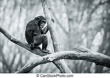Young Chimpanzee Sitting in Tree
