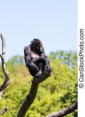 Chimpanzee monkey on a tree over blue sky
