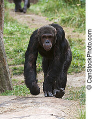 More than any other ape, chimpanzees use tools. They use sticks to fish for insects, poking the twigs into the holes of ant or termite mounds and pulling them out, covered with wiggling food. Chimps use stones to crack open hard-shelled nuts or fruits. They also use leaves as sponges, either to soak...