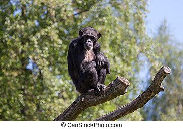 Chimpanzee on a tree