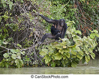Chimpanzee in its natural habitat on Baboon Islands in The Gambia