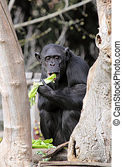 A chimpanzee (Pan Troglodytes) in a zoo, eating a vegetable