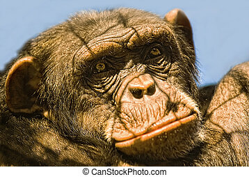 Chimpanzee (Pan troglodytes) in captivitiy