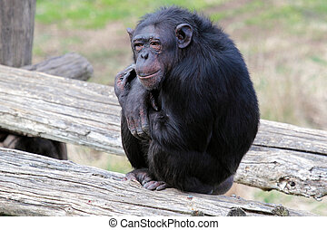 A chimpanzee (Pan Troglodytes) in a zoo, sitting on a platform
