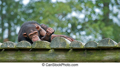 Chimpanzee laying down with a sad expression on his face.