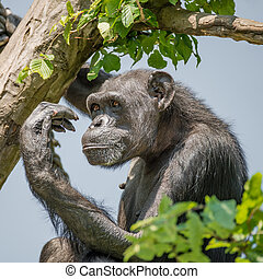 Chimpanzee portrait at tree at guard