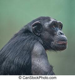 Chimpanzee portrait close up at open resort
