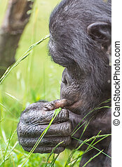Chimpanzee portrait.