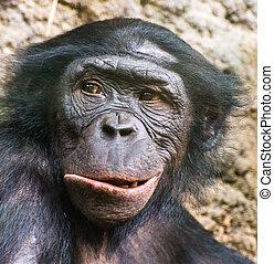 Chimpanzee portrait.