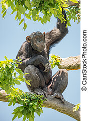 Chimpanzee portrait sitting at tree