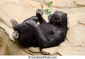Chimpanzee relaxing - Chimpanzee with sprig of leaves...
