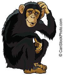 chimpanzee, simia troglodytes, sitting pose, picture isolated on white background