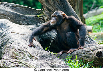Chimpanzee sits on a branch in the jungle