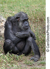 Chimpanzee sitting in the grass