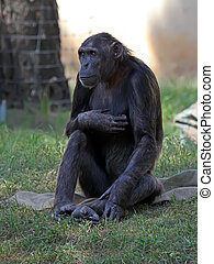 Chimpanzee sitting on a grass in a zoo