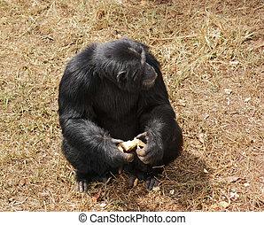 chimpanzee sitting on grassy ground