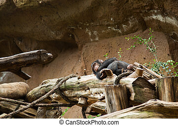 chimpanzee sleep on  the tree in a park