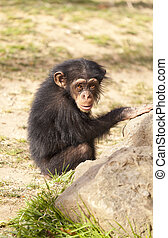 Chimpanzee - Small nice baby chimp in the sun