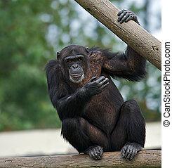 Chimpanzee - Adult chimpanzee holding on to a wooden rail...
