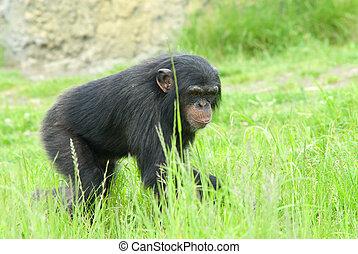 chimpanzee - close-up of a cute chimpanzee (Pan troglodytes)