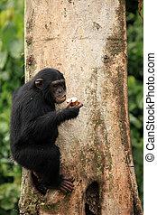 Chimpanzee - Uganda - Chimpanzee Sanctuary, Game Reserve -...