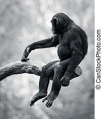 Chimpanzee VI