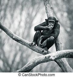 Chimpanzee VII
