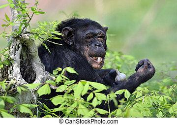 Chimpanzee with garlic