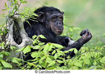 Chimpanzee with garlic