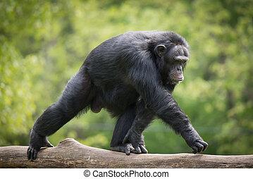 Chimpanzee XIV