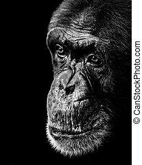 Chimpanzee XX BW - A Black and White 3/4 Portrait of a ...