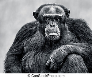 Chimpanzee XXXI