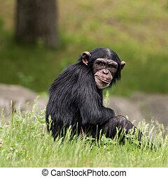 Chimpanzee XXXIV