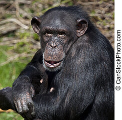 A female Chimpanzee (Pan troglodytes) in northern Zambia. Chimpanzees are members of the Hominidae family, along with gorillas, humans, and orangutans. Chimpanzee are the closest living relatives to humans.