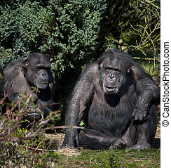 Two Chimpanzee (Pan troglodytes) in northern Zambia. Chimpanzees are members of the Hominidae family, along with gorillas, humans, and orangutans. Chimpanzee are the closest living relatives to humans.