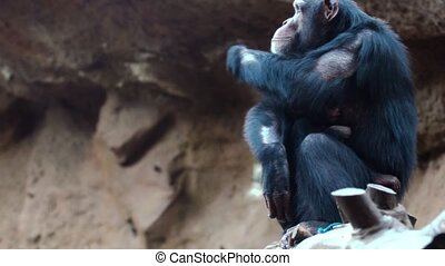 chimpanzees in the zoo - chimpanzees resting in the zoo