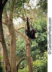 Chimpanzee - Wildlife in Uganda, Africa