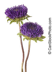 china aster - Studio Shot of Blue Colored China Aster ...