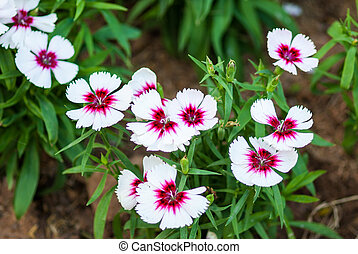 China Pink , Dianthus chinensis L.