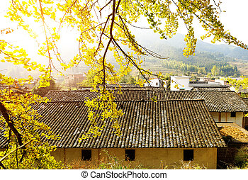 China remote rural areas - Golden ginkgo leaves and rustic ...