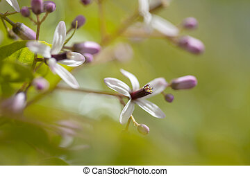 chinaberry tree flowers - chinaberry tree, Melia azedarach,...