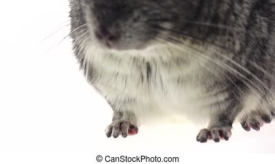 Chinchilla chewing food for animals, white background. Slow...