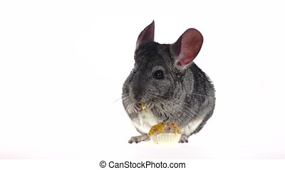 Chinchilla eat treat for rodents from seeds in slow motion -...