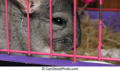 Chinchilla eating close up cage - Domestic rodent gray...