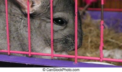 Chinchilla eating close up cage