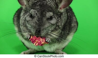 Chinchilla eats food for rodents, slow motion. Green screen,...