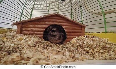 chinchilla in a wooden house inside the cage.