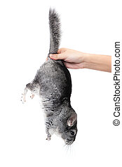 Chinchilla in female hand