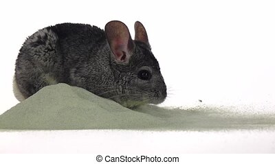 Chinchilla is bathed in sand, cleansing fur. Closeup, slow...