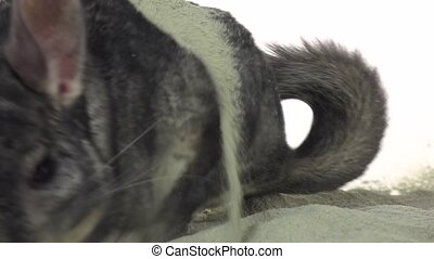 Chinchilla is bathed in sand for cleansing in slow motion -...